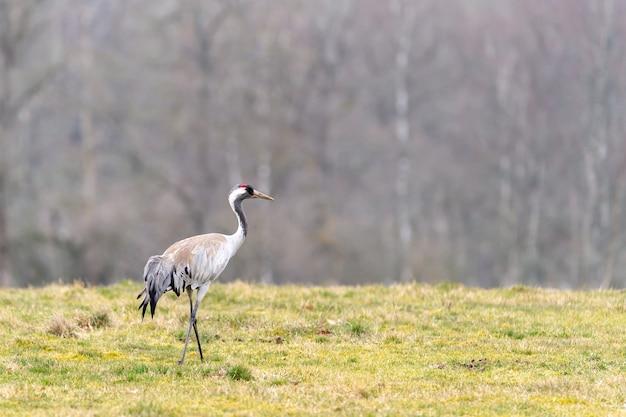 Strzał zbliżenie piękny samotny żuraw stojący w polu