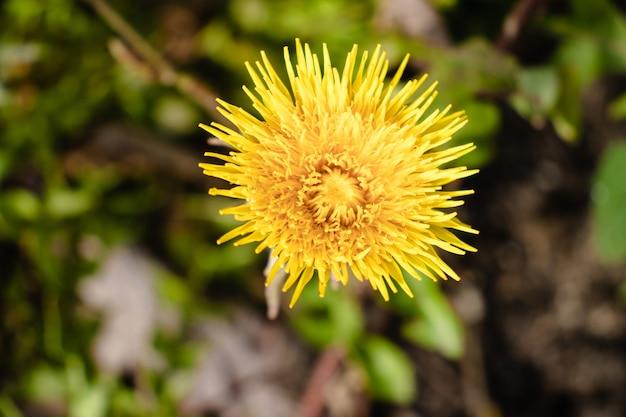 Strzał zbliżenie piękny żółty kwiat mniszka lekarskiego