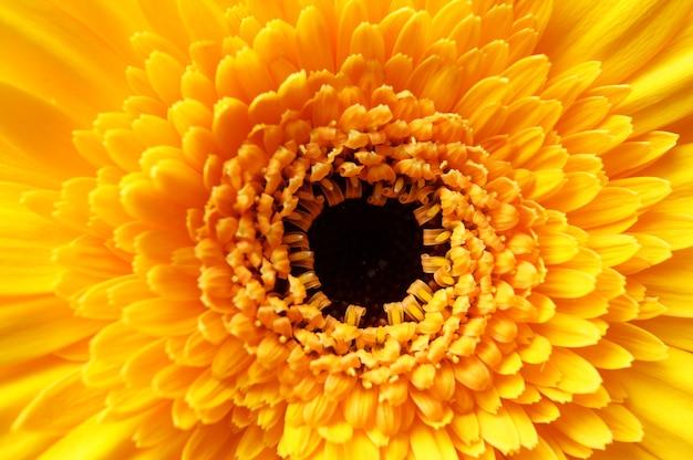 Strzał zbliżenie piękny żółty kwiat stokrotka afrykańskiego płatkami