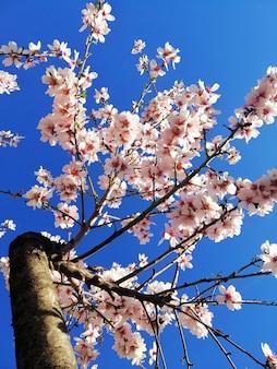Strzał zbliżenie pięknych białych kwiatów na drzewach migdałowych i błękitne niebo