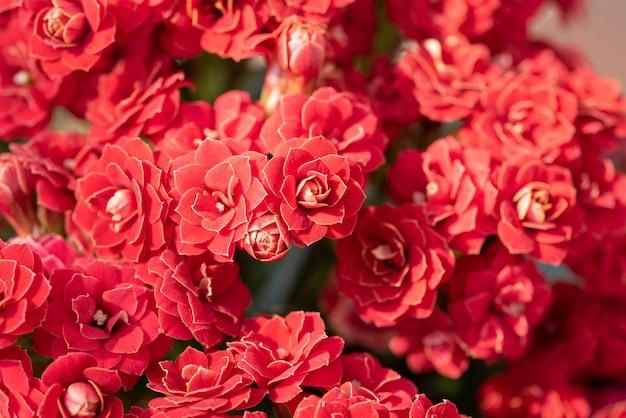 Strzał zbliżenie pięknych czerwonych kwiatów