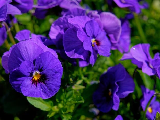 Strzał zbliżenie pięknych fioletowych kwiatów bratek w polu