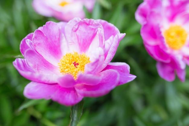 Strzał zbliżenie pięknych fioletowych wspólnych kwiatów piwonii w ogrodzie