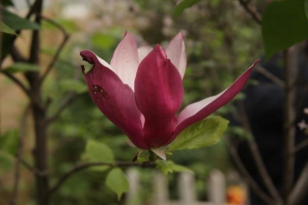 Strzał zbliżenie pięknych irysów purpurowo płatków kwiatów w ogrodzie
