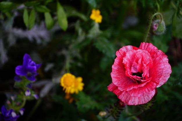 Strzał zbliżenie pięknych kolorowych kwiatów