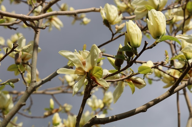 Strzał zbliżenie pięknych kwiatów magnolii