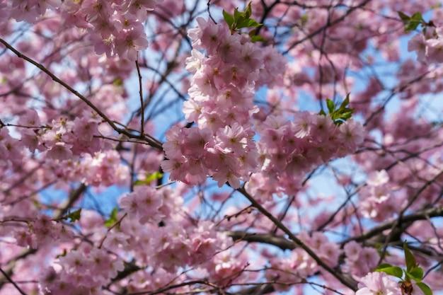 Strzał zbliżenie pięknych kwiatów wiśni na drzewie w ciągu dnia