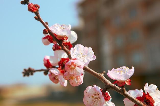 Strzał zbliżenie pięknych kwiatów wiśni na gałęzi drzewa