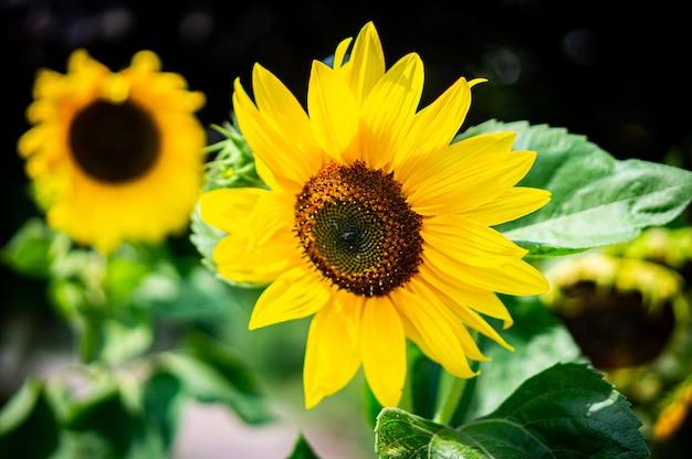 Strzał zbliżenie pięknych słoneczników