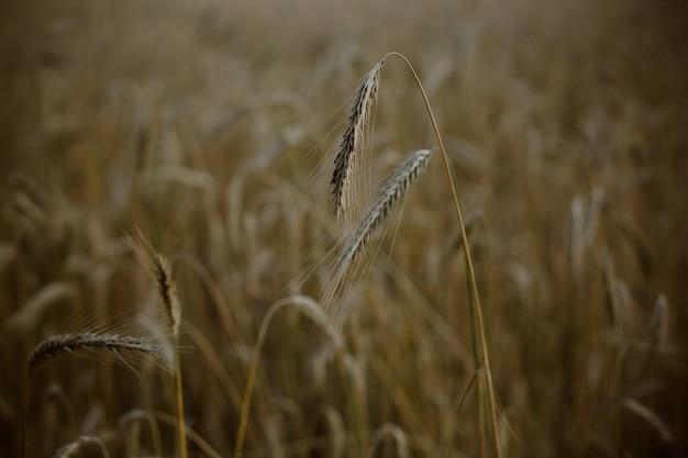 Strzał zbliżenie pola pszenicy pszenżyta o zachodzie słońca