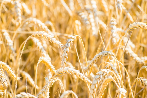 Strzał zbliżenie pola pszenicy złotej w la rioja, hiszpania
