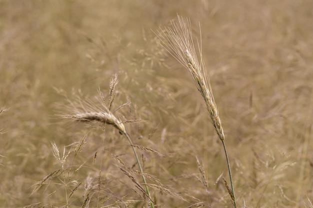 Strzał zbliżenie pola pszenżyta w ciągu dnia
