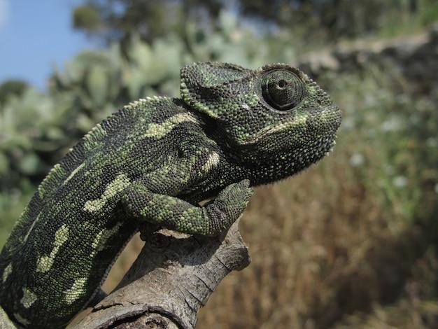 Strzał zbliżenie profilu kameleona śródziemnomorskiego siedzącego na gałęzi na malcie