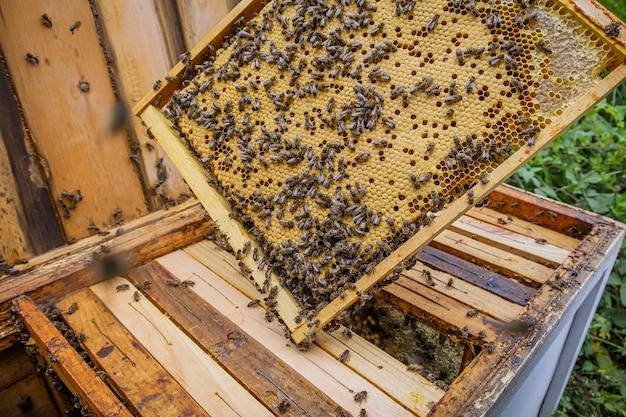 Strzał zbliżenie pszczelarza trzymającego ramkę o strukturze plastra miodu z wieloma pszczołami robiącymi miód