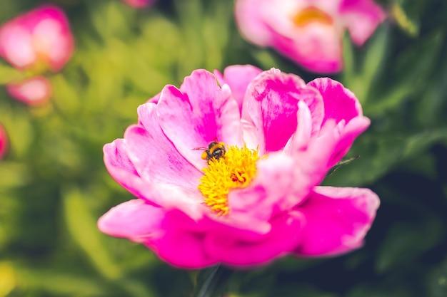 Strzał zbliżenie pszczoła na purpurowy kwiat piwonii wspólnej