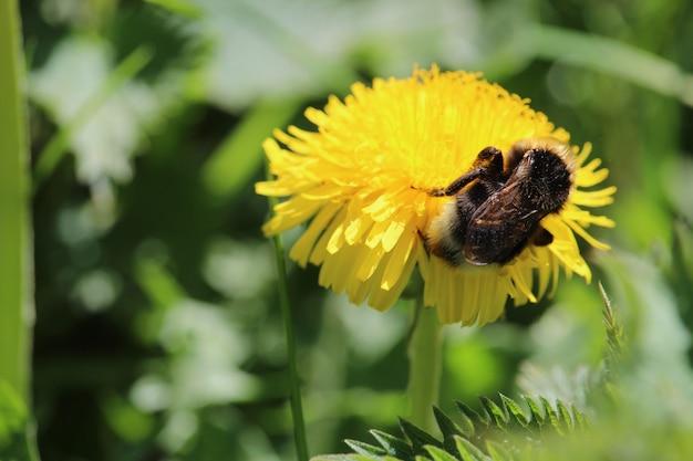 Strzał zbliżenie pszczoła siedzi na żółty kwiat mniszka lekarskiego