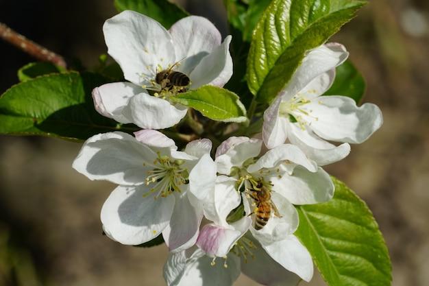 Strzał zbliżenie pszczoły miodne na białych kwiatach