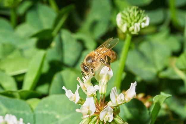 Strzał zbliżenie pszczoły miodnej na biały kwiat lawendy
