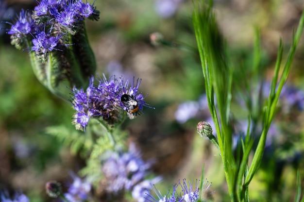 Strzał zbliżenie pszczoły miodnej na piękne fioletowe kwiaty pennyroyal