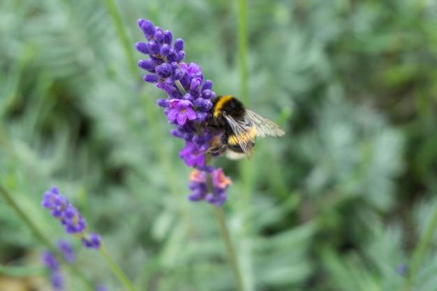 Strzał zbliżenie pszczoły miodnej na purpurowy kwiat lawendy
