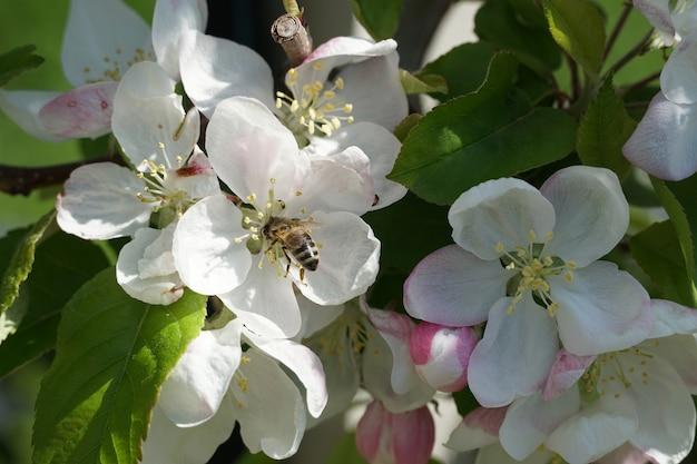Strzał zbliżenie pszczoły na biały kwiat w ciągu dnia
