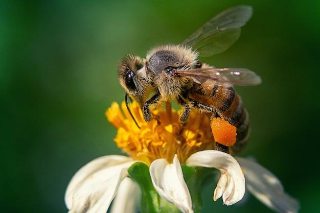 Strzał zbliżenie pszczoły na kwiat rumianku
