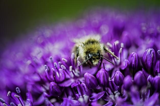 Strzał zbliżenie pszczoły na kwitnący purpurowy kwiat