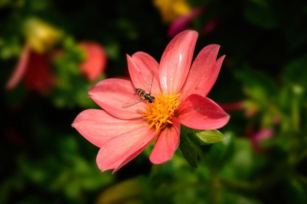 Strzał zbliżenie pszczoły na różowy kwiat