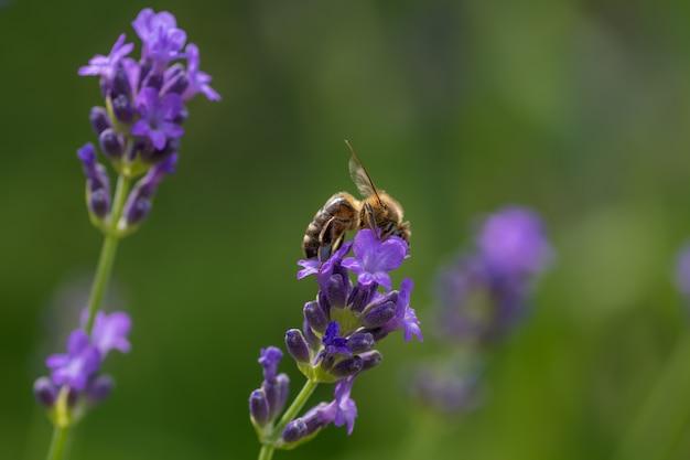 Strzał zbliżenie pszczoły siedzącej na fioletowym lawendy angielskiej