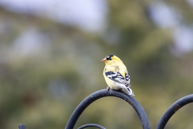 Strzał zbliżenie ptaka american goldfinch spoczywającej na czarnym metalu