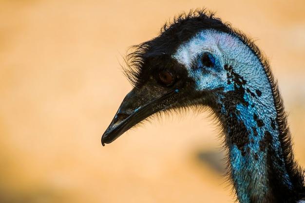 Strzał zbliżenie ptaka emu w parku przyrody al areen w bahrajnie