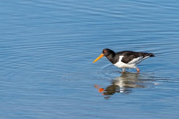 Strzał zbliżenie ptaka ostrygojada w niebieskiej wodzie