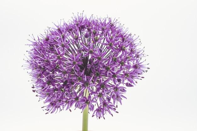 Strzał zbliżenie purpurowy kwiat allium głowy