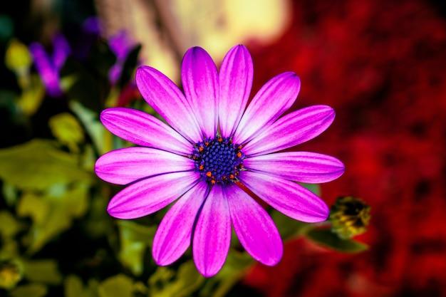 Strzał zbliżenie purpurowy kwiat