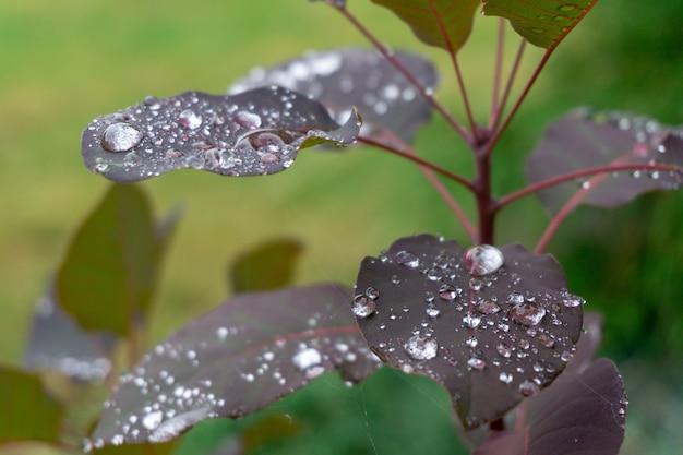 Strzał zbliżenie purpurowych liści roślin pokrytych kroplami rosy