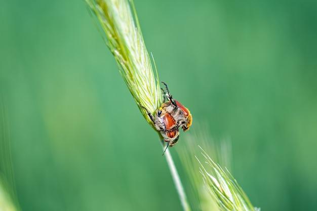 Strzał zbliżenie robaka na trawie pszenicznej w lesie