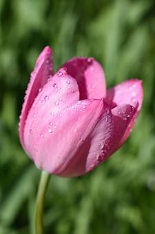 Strzał zbliżenie różowego tulipana pokrytego kroplami rosy