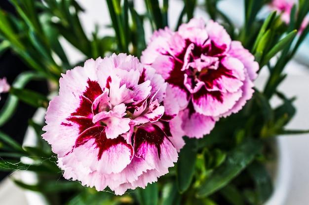 Strzał zbliżenie różowy i czerwony dianthus caryophyllus