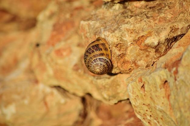 Strzał zbliżenie rzymskiego ślimaka na klifie na wyspach maltańskich, malta