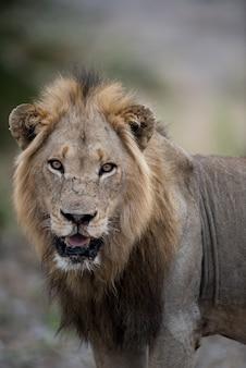 Strzał zbliżenie samca lwa