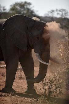 Strzał zbliżenie słonia afrykańskiego grającego z kurzem