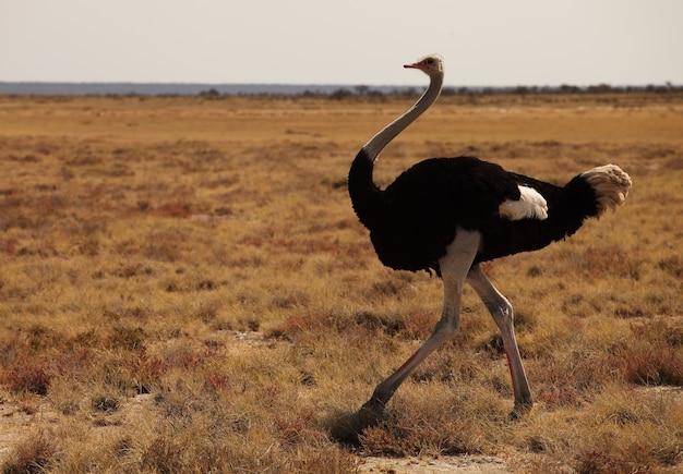 Strzał zbliżenie strusia biegnącego na równinie trawiastej sawanny w namibii