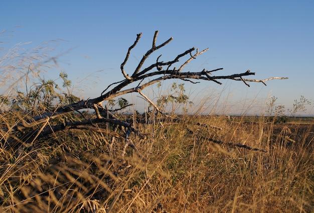 Strzał zbliżenie suchej gałęzi drzewa w trawiastym polu w gibraltarze