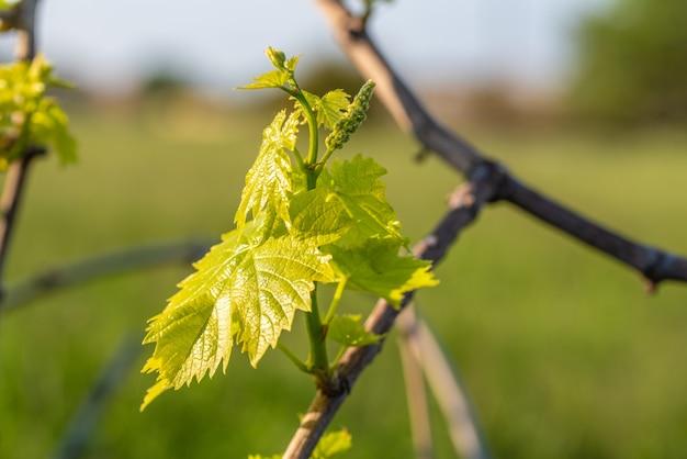 Strzał zbliżenie świeżych zielonych liści winogron na niewyraźne tło
