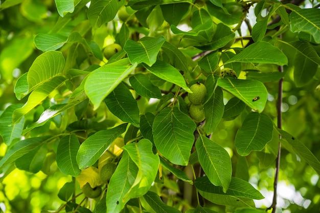 Strzał zbliżenie świeżych zielonych młodych owoców orzecha włoskiego na gałęzi drzewa