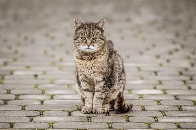 Strzał zbliżenie szarego kota na wyłożonej kafelkami drodze