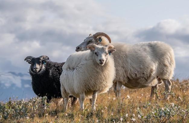 Strzał zbliżenie trzech pięknych islandzkich owiec w dzikim obszarze pod pochmurnym niebem