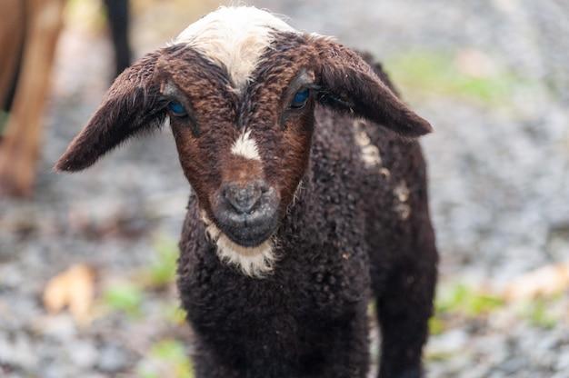 Strzał zbliżenie urocze puszyste dziecko kozy o niebieskich oczach