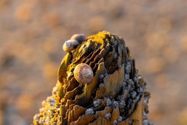 Strzał zbliżenie uszkodzonej powierzchni drewnianej z dużą ilością muszli ślimaków na niej