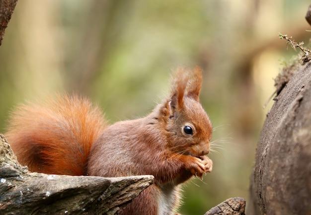 Strzał zbliżenie wiewiórka jedzenie orzecha laskowego na niewyraźne tło